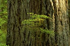 Pacific Northwest forest and Douglas fir trees. A picture of an exterior Pacific Northwest forest with Douglas fir trees royalty free stock images