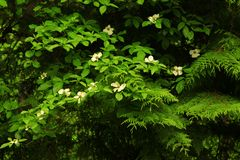 Pacific Northwest forest and flowering Dogwood tree. A picture of an exterior Pacific Northwest forest with flowering Dogwood tree stock photography