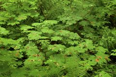 Pacific Northwest forest and Vine maple trees. A picture of an exterior Pacific Northwest forest with Vine maple trees stock images