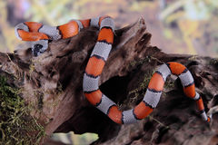Picture of a false coral snake Royalty Free Stock Photography