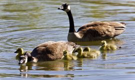 Picture with a family of Canada geese swimming. Background with a family of Canada geese swimming Stock Photo