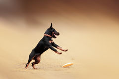 Picture of a fast dog running Royalty Free Stock Photos