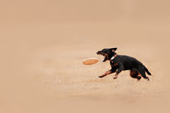 Picture of a fast dog running Stock Photos