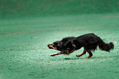 Picture of a fast dog running Royalty Free Stock Photo