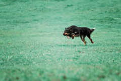 Picture of a fast dog running Royalty Free Stock Image