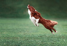 Picture of a fast dog running Stock Images