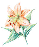 Picture, flower of a lily Stock Image