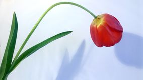 Flower - red smelling tulip royalty free stock image