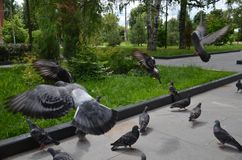 Picture of a flying flock of pigeons in Izhevsk stock photos
