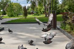 Picture of a flying flock of pigeons in Izhevsk stock images