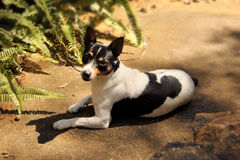 Fox Terrier in Sun Royalty Free Stock Image