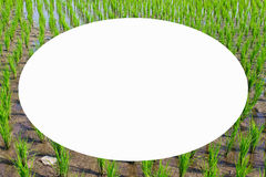 Picture frame form green rice fields Stock Photo