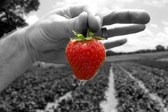 Fresh picked strawberry from a strawberry patch. A picture of a fresh picked strawberry from a strawberry patch Stock Image