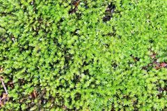 Picture of a fresh and vivid green moss to be used as a background Royalty Free Stock Photos