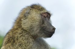 Picture with a funny baboon looking aside. Image of a funny baboon looking aside in a field stock photos