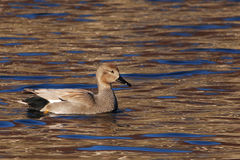 Picture of a gadwall a water loving duck. A gadwall is a kind of duck which lives on water royalty free stock image