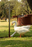 Geese Drinking Tap Water. Picture of Geese Drinking Puddle from Leaking Tap royalty free stock image