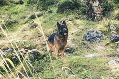 Picture of a German shepherd dog on the trails of Cortina D`Ampe. German shepherd on the trails of Cortina D`Ampezzo, Dolomites, Italy Royalty Free Stock Images