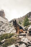 Picture of a German shepherd dog on the trails of Cortina D`Ampe. German shepherd on the trails of Cortina D`Ampezzo, Dolomites, Italy Royalty Free Stock Image