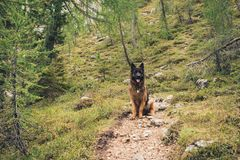 Picture of a German shepherd dog on the trails of Cortina D`Ampe. German shepherd on the trails of Cortina D`Ampezzo, Dolomites, Italy Royalty Free Stock Photography