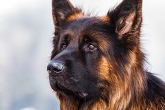 Picture of a German shepherd dog on the trails of Cortina D`Ampe. German shepherd on the trails of Cortina D`Ampezzo, Dolomites, Italy Stock Photography