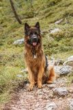 Picture of a German shepherd dog on the trails of Cortina D`Ampe. German shepherd on the trails of Cortina D`Ampezzo, Dolomites, Italy Stock Image