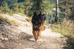 Picture of a German shepherd dog on the trails of Cortina D`Ampe. German shepherd on the trails of Cortina D`Ampezzo, Dolomites, Italy Stock Images