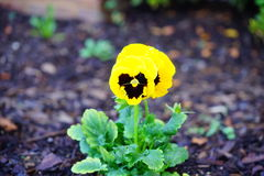 Picture of Ghost face pansy flower Stock Photos
