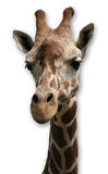 Giraffe on White Background Stock Image