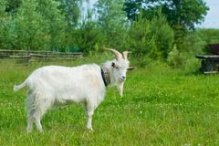 The picture of a goat on a meadow Stock Photography