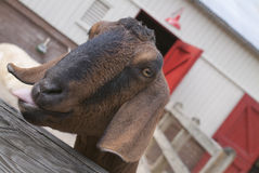 Goat Stare Royalty Free Stock Photo