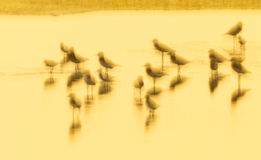 Picture golden light of bird shore Royalty Free Stock Image