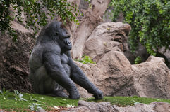 Picture of a gorilla outdoors. Picture of gorilla in a theme park with rocks and vegetation Stock Images