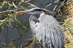 Great blue heron. A picture of a great blue heron royalty free stock photography