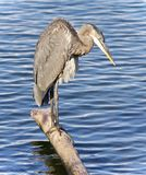 Picture with a great blue heron cleaning feathers Royalty Free Stock Images