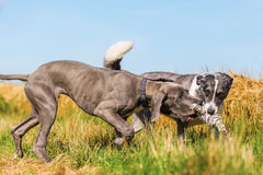 Great Dane puppy and an Australian Shepherd playing on a country path Stock Photos