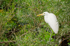 Great White Egret standing on a Tree Royalty Free Stock Photo
