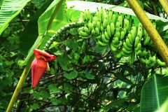Picture of a green banana plant with a red blossom in a garden in Krabi, Thailand royalty free stock photos