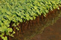 shamrock plant Stock Photography