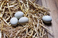 A picture of fresh green eggs lying on straw. A picture of green eggs lying on straw, poultry farm Royalty Free Stock Images