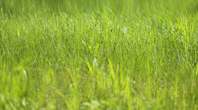 Picture green grass Stock Image