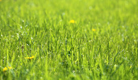 Picture green grass Royalty Free Stock Image
