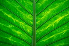 Leaf texture Royalty Free Stock Images