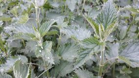 Nettle. Picture of green nettle royalty free stock photography