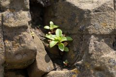 Picture of a green plant against a background of stones royalty free stock images