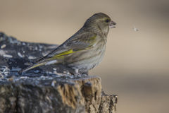 Greenfinch, carduelis chloris, female Royalty Free Stock Photos