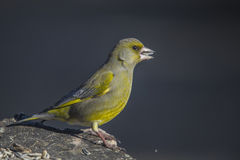 Greenfinch, carduelis chloris, male Stock Images
