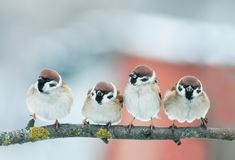 Picture group of funny little birds sparrows on a branch in the royalty free stock images