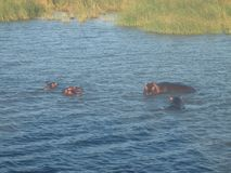 Hippos. A picture of a group of hippos in a river taken during a boat trip in South Africa royalty free stock image