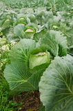 The picture of the growing cabbage. Vertical picture of growing cabbage on the filed royalty free stock photos